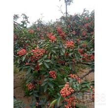 河北省石家庄市大红袍花椒苗品种优纯度高花椒苗几月份种植成活率高图片