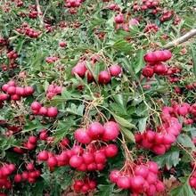 河北省秦皇岛市2公分山楂苗应注意的关键问题保成活山楂树苗种植要领图片