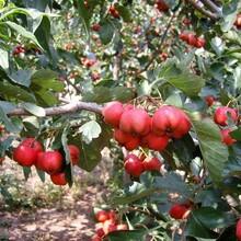河北省承德市无籽山楂苗低价出售保成活几月份种植成活率高图片
