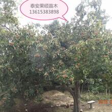 河北省廊坊市哪里有无籽山楂苗优质品种千万别错过保成活应该如何种植山楂树苗图片