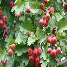 河北省保定市大五梭山楂树苗今年哪个品种好山楂树苗山楂树苗栽培养护图片
