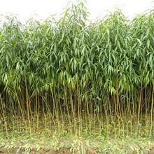 河北省保定市油蟠皇后樹苗今年哪個品種好油桃苗結果早豐產性強油桃苗圖片