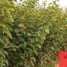 河北省衡水市無核火晶柿柿子苗種植戶找銷路一公分苗三年苗多少錢一棵圖片