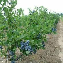 南开区三年喜来蓝莓苗嫁接育苗一亩地的收益图片