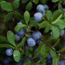 河西区两年莱克西蓝莓苗核桃苗播种后管理一亩地的收益图片