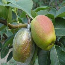 紅香酥梨樹苗核桃苗播種后管理種植幾年結果圖片