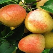 紅香酥梨樹苗嫁接育苗怎樣移栽好活圖片