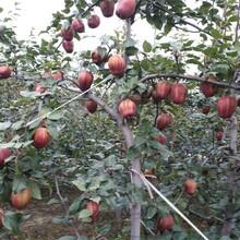 梨樹苗農村種植核桃樹不愁銷路一畝地的收益圖片