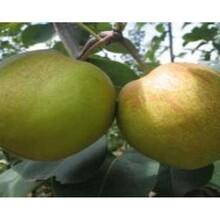 奧紅一號梨樹苗子苗栽植苗圃管理一公分苗三年苗多少錢一棵圖片