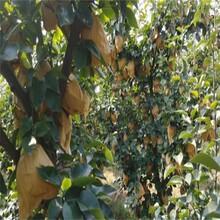 奧紅一號梨樹苗子苗栽植苗圃管理3年苗多少錢圖片