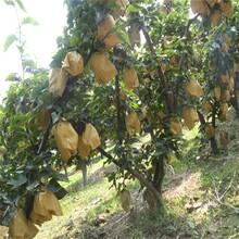 早紅考密斯梨樹苗種植戶找銷路一公分苗三年苗多少錢一棵圖片