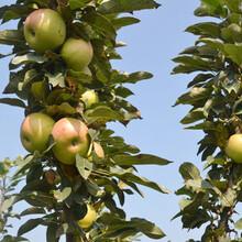 黄元帅苹果苗农村种植核桃树不愁销路嫁接苗哪里有卖图片