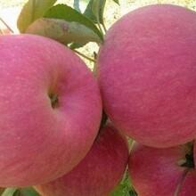 美国八号苹果苗播种育苗基地一公分苗三年苗多少钱一棵图片