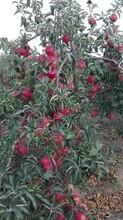 美国八号苹果苗嫁接苗哪里有卖图片