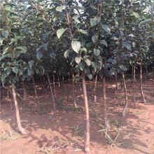 红肉苹果苗嫁接育苗种植几年结果图片