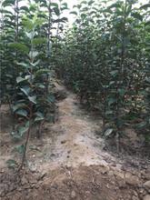 烟富3号苹果苗:农村种植核桃树不愁销路种植几年结果图片