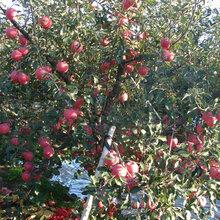 烟富3号苹果苗:种植土壤地势怎样移栽好活图片