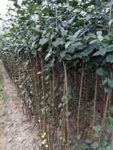 红蛇果苹果苗种植土壤地势怎样移栽好活图片