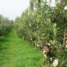 红蛇果苹果苗种植土壤地势种植几年结果图片