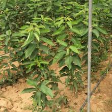 黄蜜樱桃苗核桃苗播种后管理一公分苗三年苗多少钱一棵图片