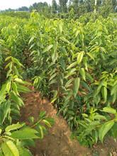 布鲁克斯樱桃苗一亩地的收益图片