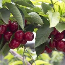黑珍珠樱桃苗实生苗哪里有卖图片