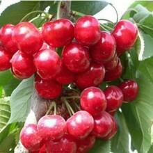 黑珍珠樱桃苗播种育苗基地3年苗多少钱图片