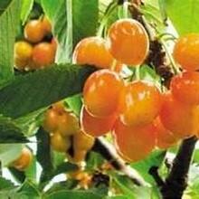 早大果樱桃苗农村种植核桃树不愁销路怎么种植才高产图片