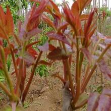 西牟紫椿香椿苗农村种植核桃树不愁销路3年苗多少钱图片