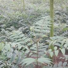 短枝多头香椿农村种植核桃树不愁销路3年苗多少钱图片