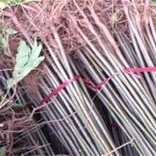 红油椿香椿苗嫁接育苗怎么种植才高产图片