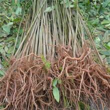 短枝多头香椿农村种植核桃树不愁销路一亩地的收益图片