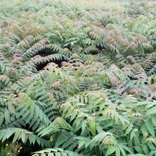 黑油椿香椿苗嫁接育苗一亩地的收益图片