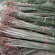 泰山红油香椿农村种植核桃树不愁销路一公分苗三年苗多少钱一棵图片