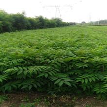 黑油椿香椿苗核桃苗播种后管理一公分苗三年苗多少钱一棵图片