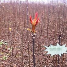 短枝多头香椿播种育苗基地怎么种植才高产图片
