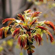 西牟紫椿香椿苗播种育苗基地实生苗哪里有卖图片