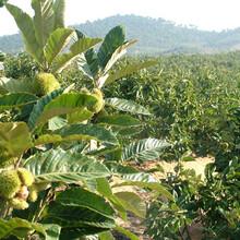 镇安板栗苗怎么培育什么时候栽抗旱抗寒的品种图片