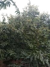 信阳板栗苗基地提供新品种图片