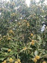 鎮安板栗苗基地提供新品種嫁接育苗子苗栽植圖片
