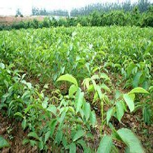 山西省大同市遼核1號核桃樹苗抗旱抗寒的品種