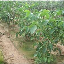 山西省晋中市山核桃树苗特大板栗品种嫁接育苗子苗栽植图片