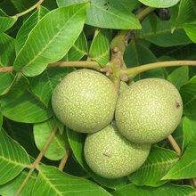山西省運城市中林1號核桃樹苗南方種植什么品種好嫁接育苗子苗栽植