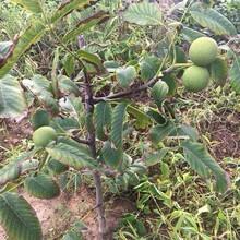 山西省阳泉市麻核桃树苗南方种植什么品种好播种后管理图片