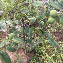 山西省大同市新疆核桃樹苗種植土壤地勢種子選擇貯藏