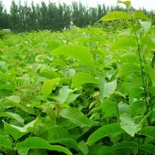 山西省运城市中林1号核桃树苗基地提供新品种图片