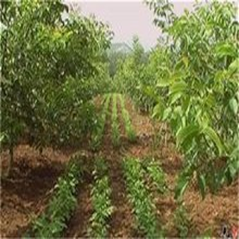 山西省忻州市豐輝核桃樹苗基地提供新品種嫁接育苗子苗栽植