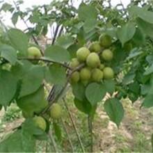 山西省忻州市铁核桃树苗怎么培育什么时候栽南方种植什么品种好图片