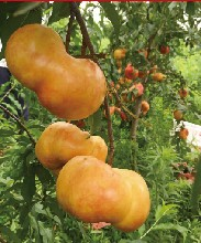 晋中市中华寿桃桃树苗基地提供种植技术播种后管理图片