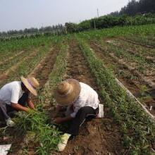 长治市黄金蜜4号桃树苗基地提供种植技术育苗技术施肥技巧图片